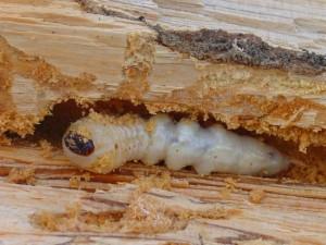boktor larven herkennen, boktor larven bestrijden, boktor bestrijden, boktor voorkomen