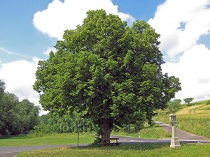 houtsoorten loofboom