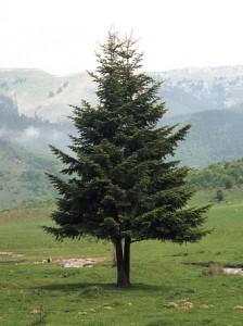houtsoorten naaldboom